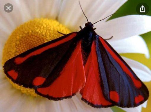 Cinnabar Moth. (Library)