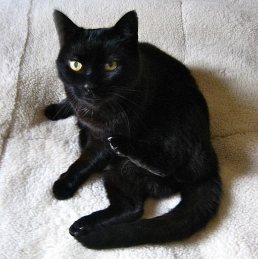 Mr Pussy. A black cat.