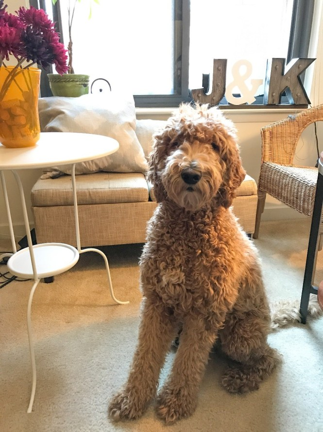 Seeking Goldendoodle Sitter At 2br Apartment 0 5 Miles From Us Capitol