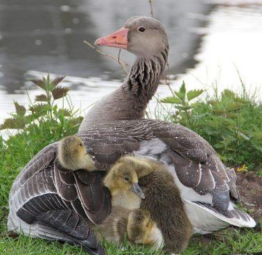 Goose holding goslings in the rain