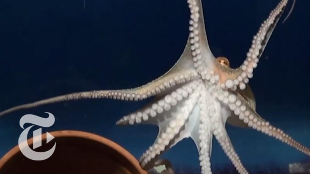 Man fand endlich heraus, wie genau sich Oktopusse fortbewegen