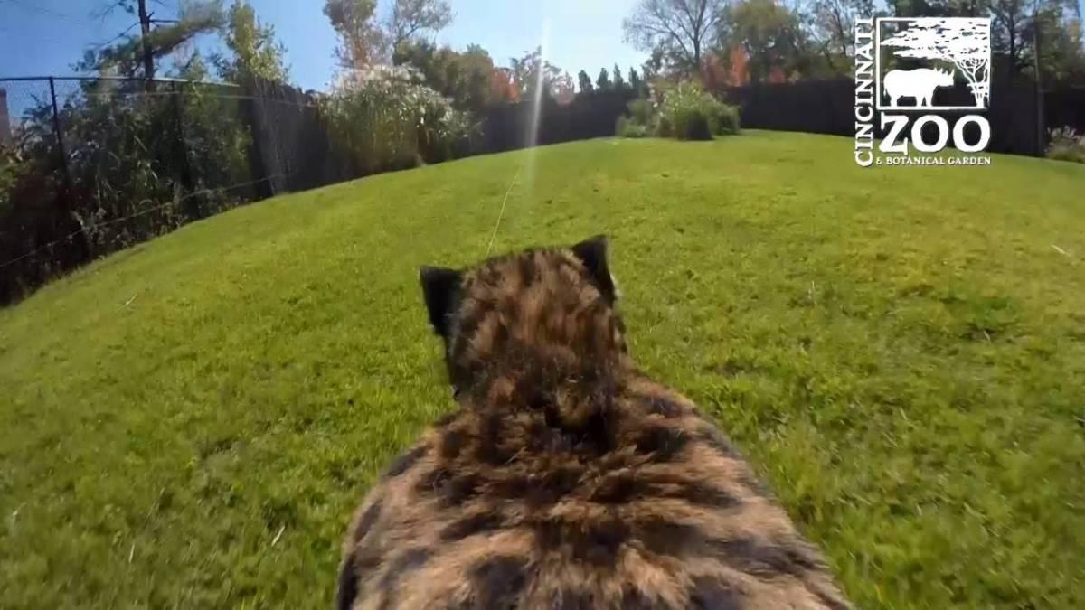Ein Gepard mit einer GoPro auf dem Rücken