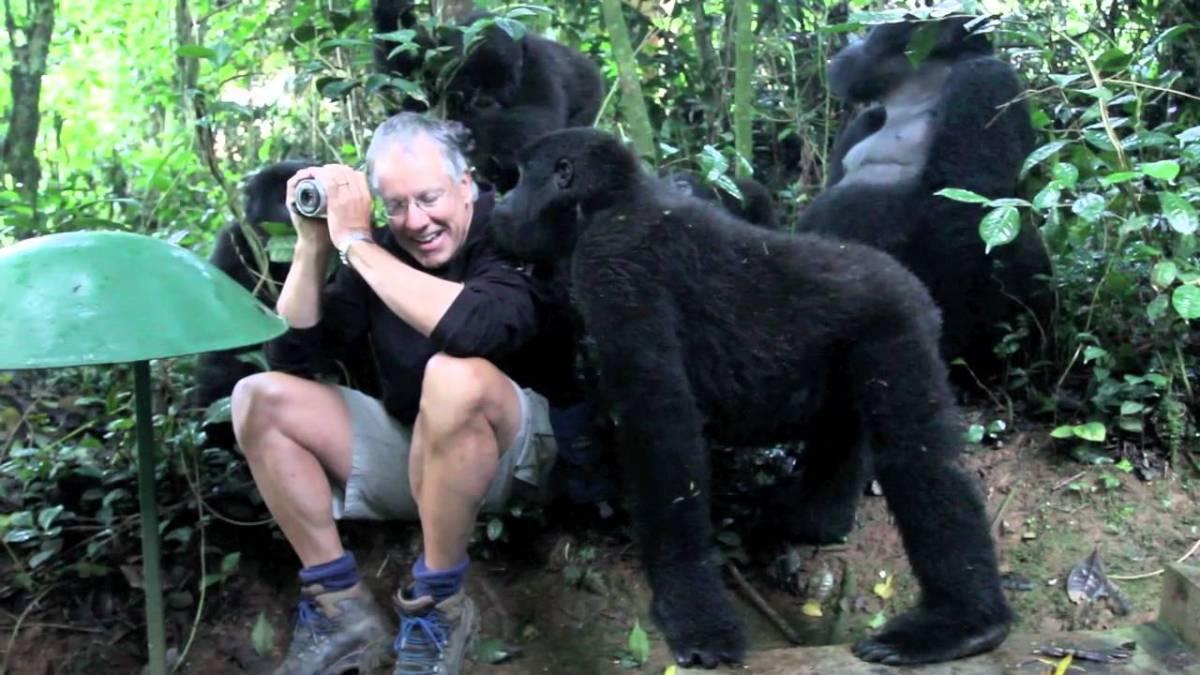 Eine Gruppe Berggorillas akzeptiert einen grauhaarigen Mann als einer der ihren