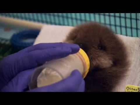 Ein kleiner Baby-Otter lernt das Wasser kennen