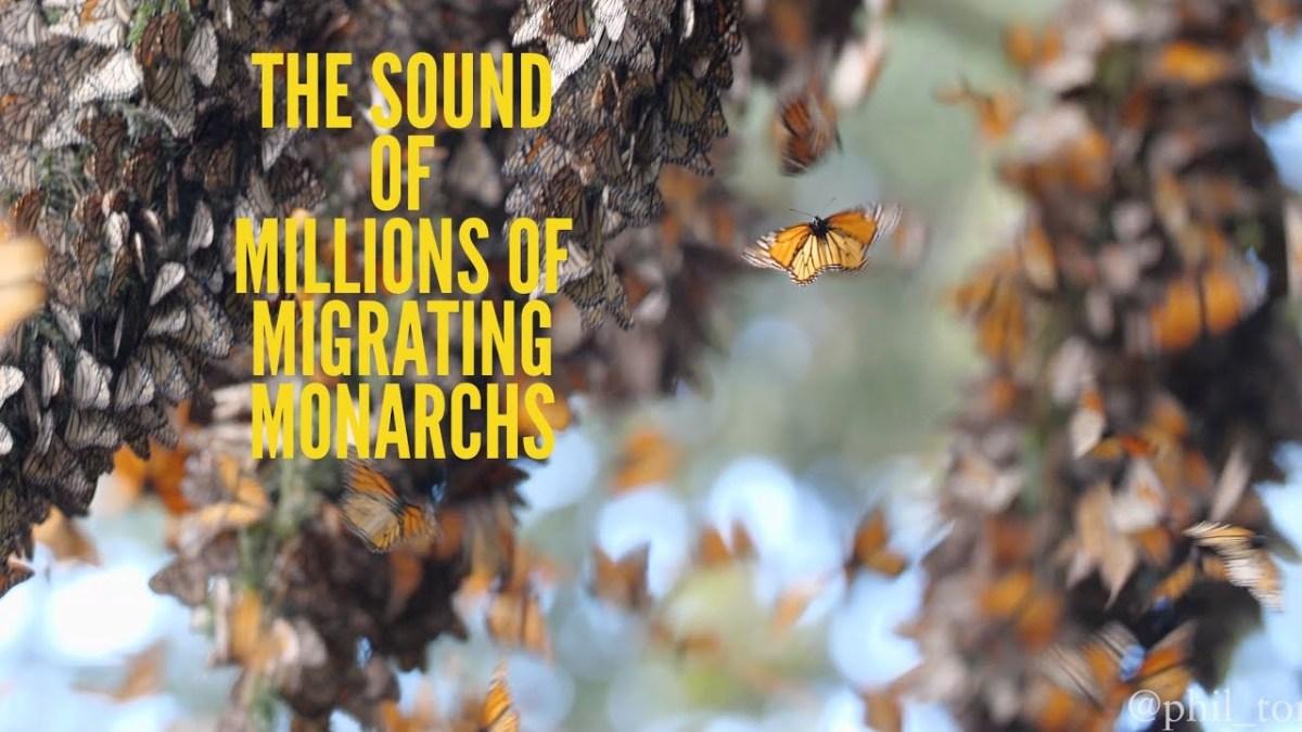 Das Geräusch von mehreren Millionen Monarchfaltern