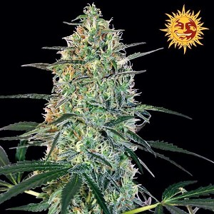 Buy Malana Bomb Auto Feminized Seeds (Barney's Farm) here