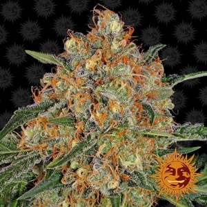 buy Orange Sherbert Feminized Seeds (Barney's Farm)
