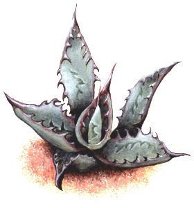small Agave offset