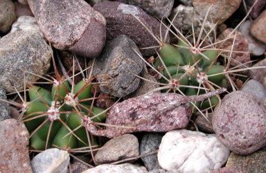 baby barrel cacti