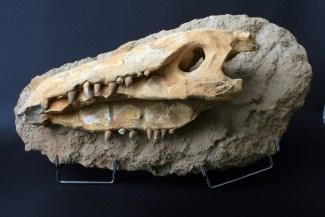 fosil_krokodila (2)