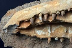 fosil krokodila glava
