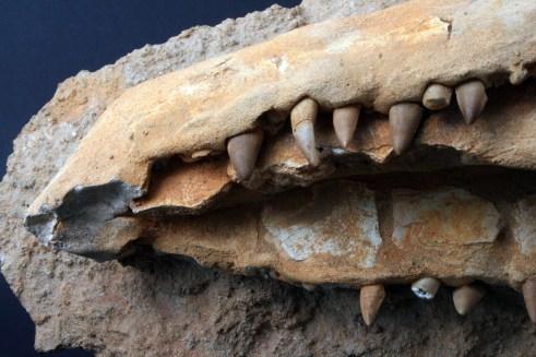 fosil_krokodila (4)