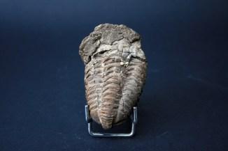 fosil Trilobit