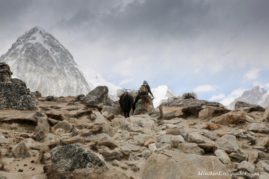 Yaks enroute Everest base camp