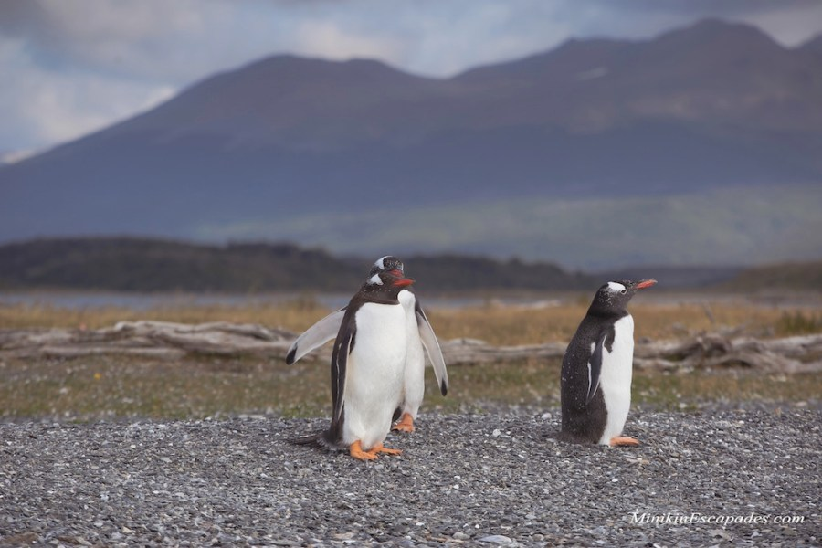 Gento Penguin on Isla Martillo