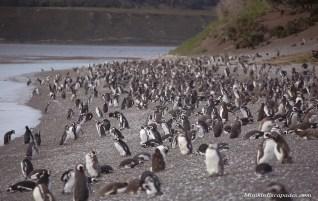 Walking with the Penguins | Ushuaia, Argentina