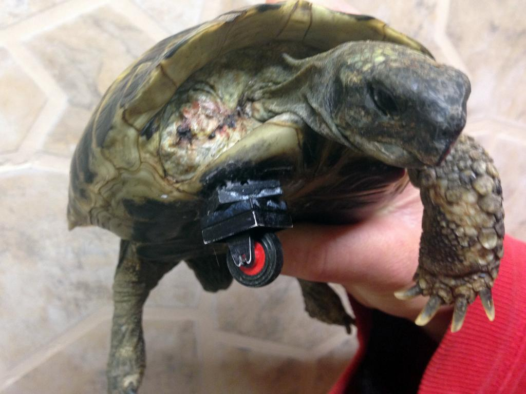 Schildi the turtle shows of her new Lego paw. Photo Credit: ATP