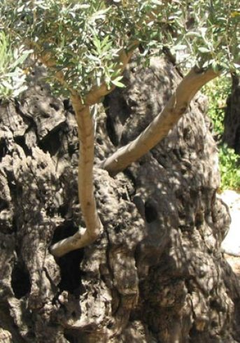 What Grafting In To The Olive Tree/Israel MeansTo Believers