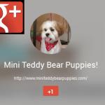 Google + Mini Teddy Bear Puppies