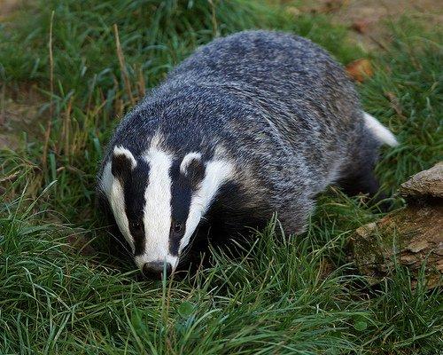 Cooking badger recipes!
