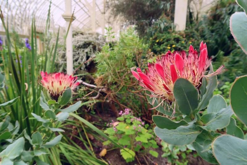 National Botanic Gardens Dublin @minkaguides protea