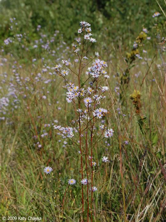 Symphyotrichum Oolentangiense Sky Blue Aster Minnesota