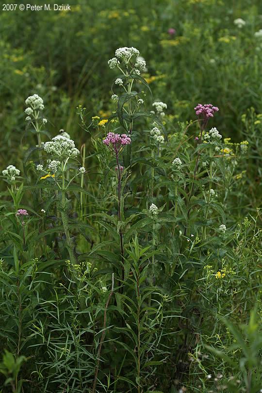 Eupatorium Perfoliatum Common Boneset Minnesota Wildflowers