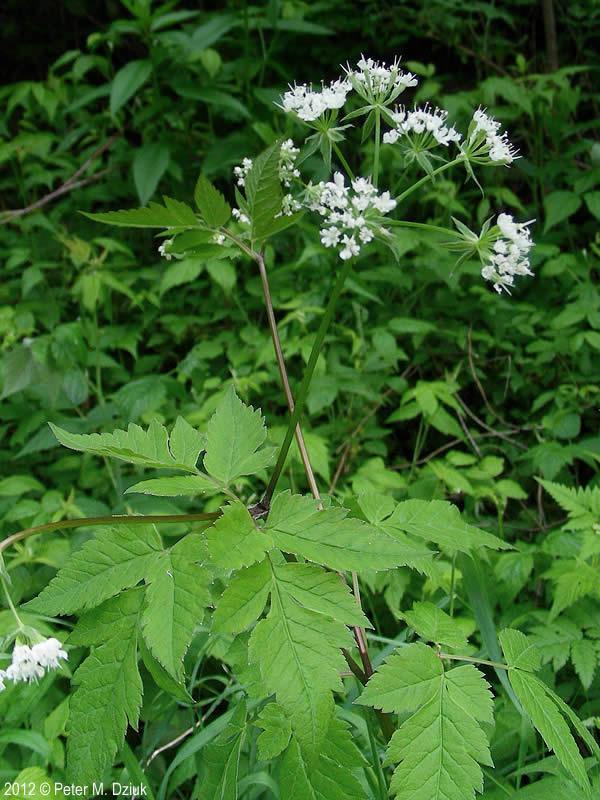 Osmorhiza Longistylis Aniseroot Minnesota Wildflowers