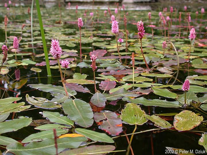 Growing Pond Plants