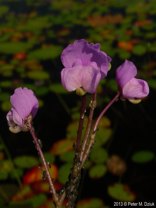Snapdragon Like Flowers