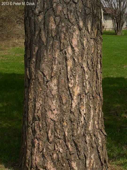 Pinus sylvestris (Scots Pine): Minnesota Wildflowers