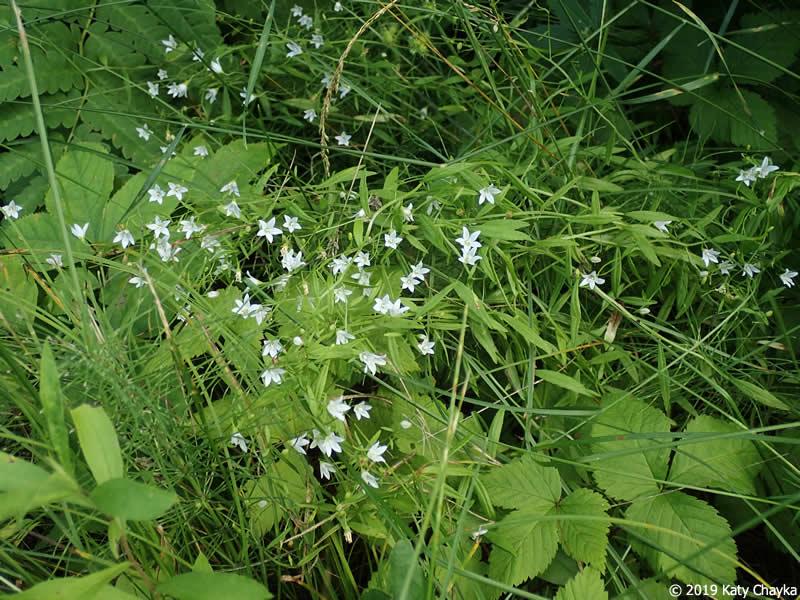 Campanula Aparinoides Marsh Bellflower Minnesota