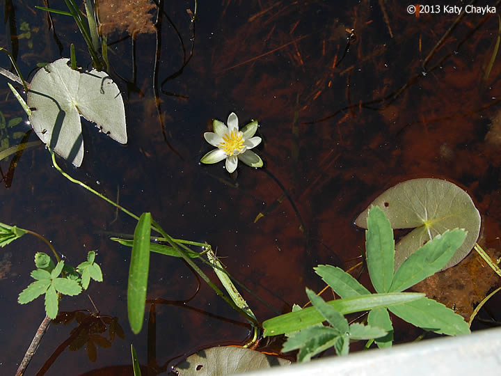 Water Lily Plants Buy