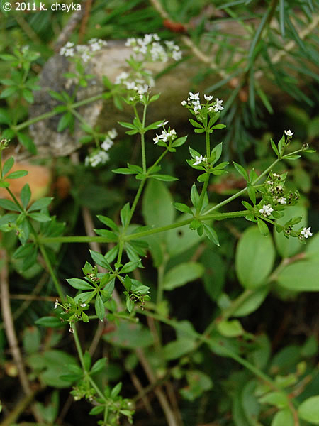 Galium Asprellum Rough Bedstraw Minnesota Wildflowers