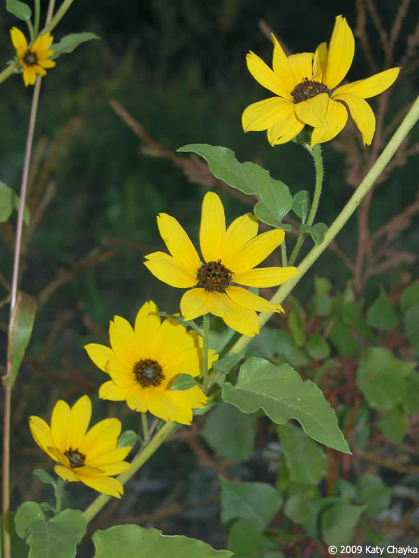 Helianthus Petiolaris Prairie Sunflower Minnesota