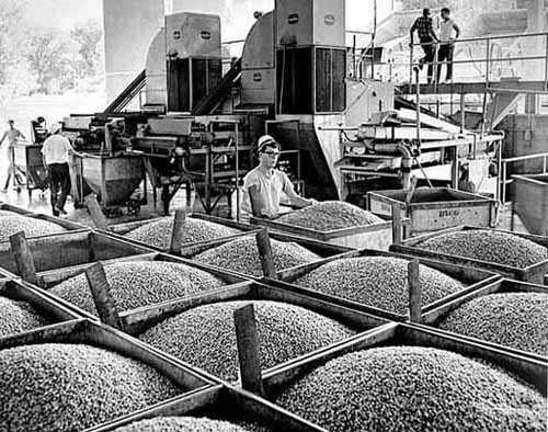 Canning peas at the Green Giant factory in La Sueur, c. 1968.
