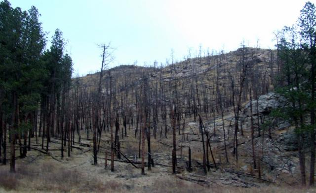 a stand of beetle-killed timber along a scenic byway in the Black Hills