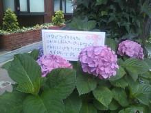 神戸市灘区の鍼灸は、六甲道駅徒歩2分のミントはり灸院(鍼灸院)へ-あじさい