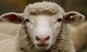 gard mouton charge pompier