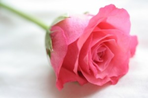 Pink-Rose-for-Cica-crozg