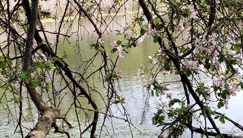 horizontal pink tree at emily oaks