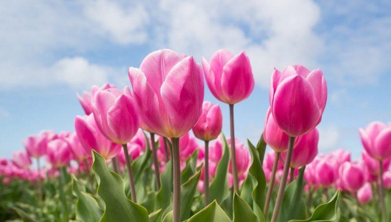 pink-2254970_1280