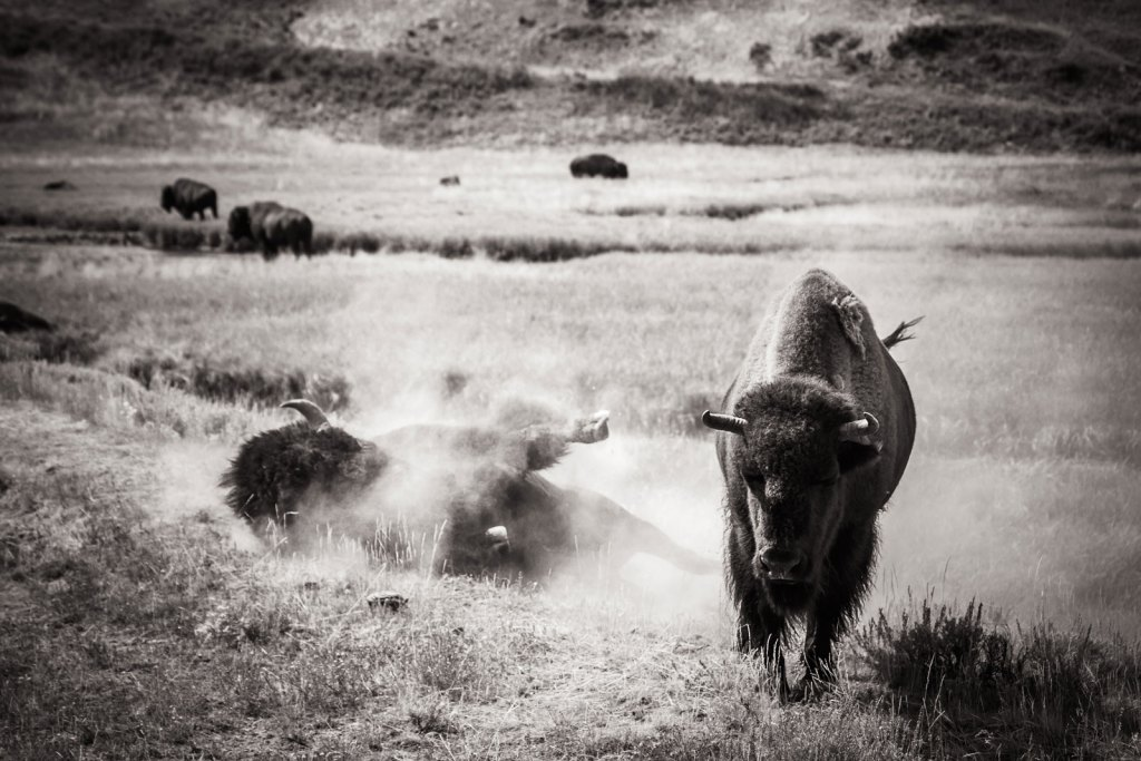 A bison with another bison rolling on the ground in Yellowstone National Park black and white