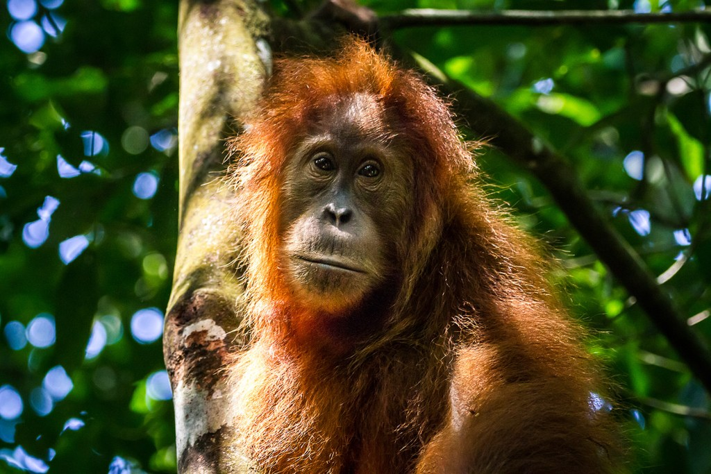 Face of a Sumatran orangutan in the rainforest of Leuser Ecosystem