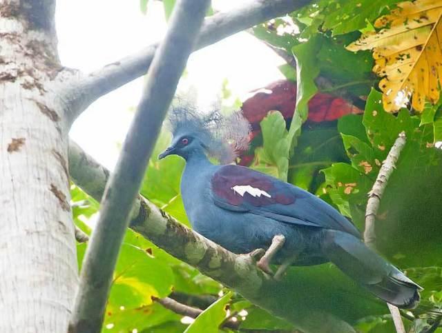 Венценосный голубь (Goura)