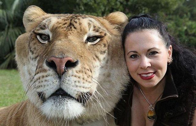 Лигр (Liger)  самая большая кошка в мире