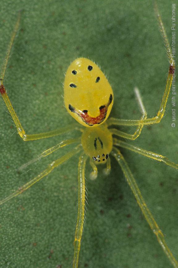 Улыбающийся паук (Theridion grallator) обитатель острова Мауи на Гавайских островах
