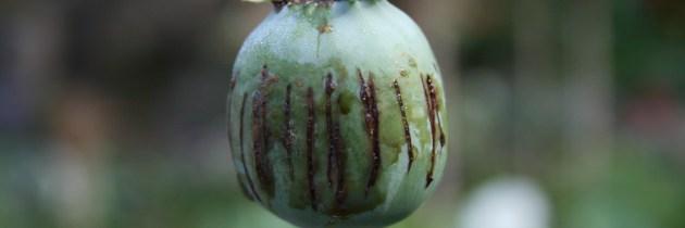 The Taliban: Looming Kingpins of Afghan Opium