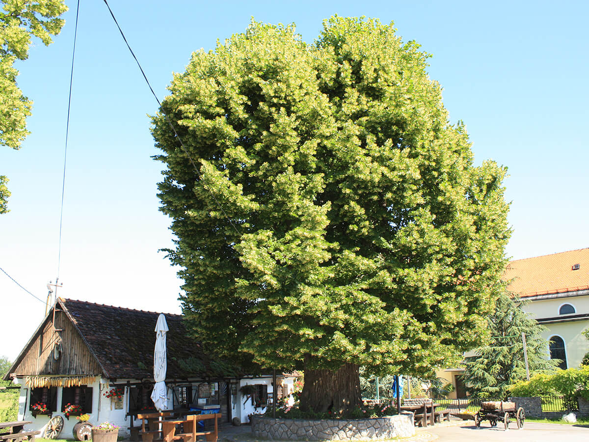 Naše najstarije drvo natječe se za titulu Europskog stabla godine. Pomozimo mu!