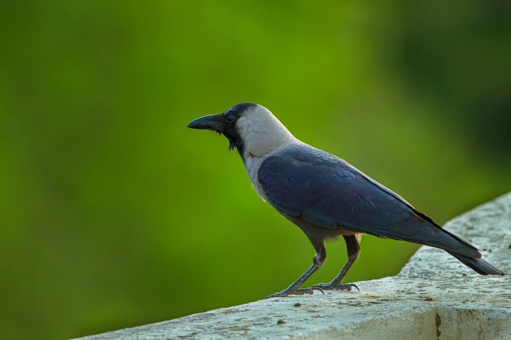 Stručnjak za ptice upozorio: Vrane su sada agresivne zbog mladunaca, ali to će prestati